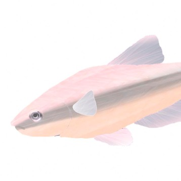 tetra fish TN